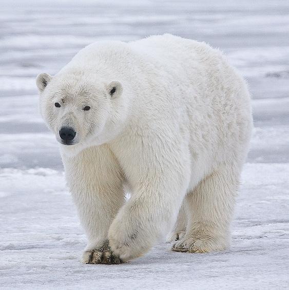 第77集:北極熊來個防曬油