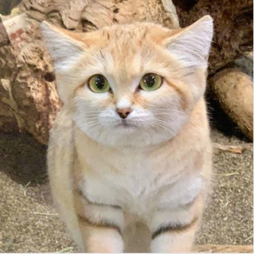 新奇故事:沙漠貓 🐱 長相超萌卻吃毒蛇的貓
