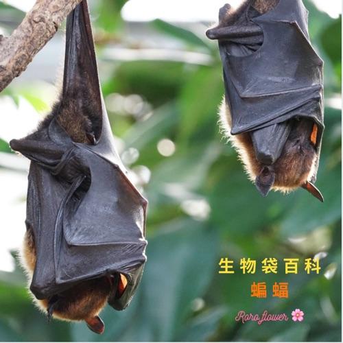 生物大百科:蝙蝠🦇為什麼要倒掛呢?蝙蝠倒掛會頭暈嗎?