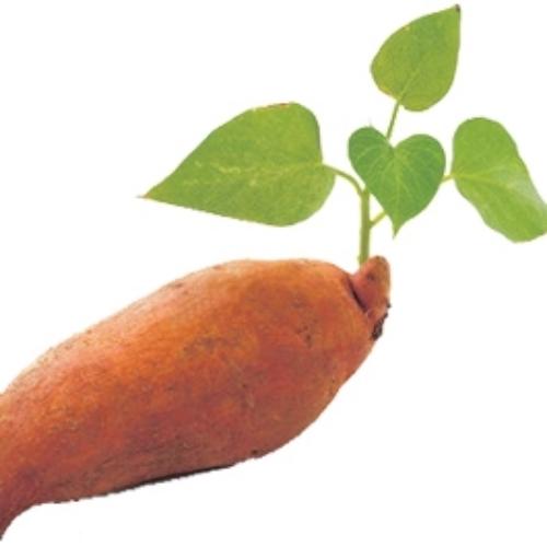 第41單元 有趣的人文歷史~對台灣蕃薯的誤解